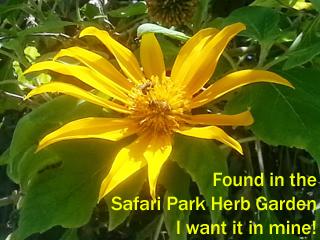 san diego safari park, yellow flower