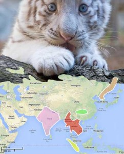 white bengal tiger cub on world habitat map